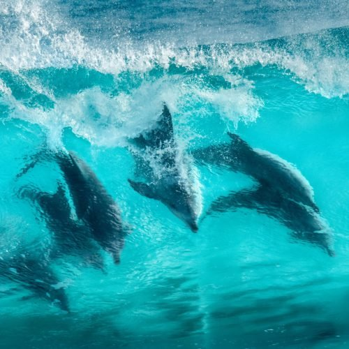 sunshine-coast-dolphins-1